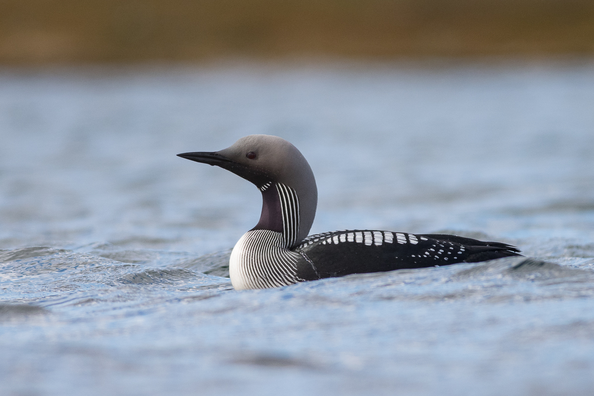 An Arctic Loon during my lunch break near Hanglefjell.