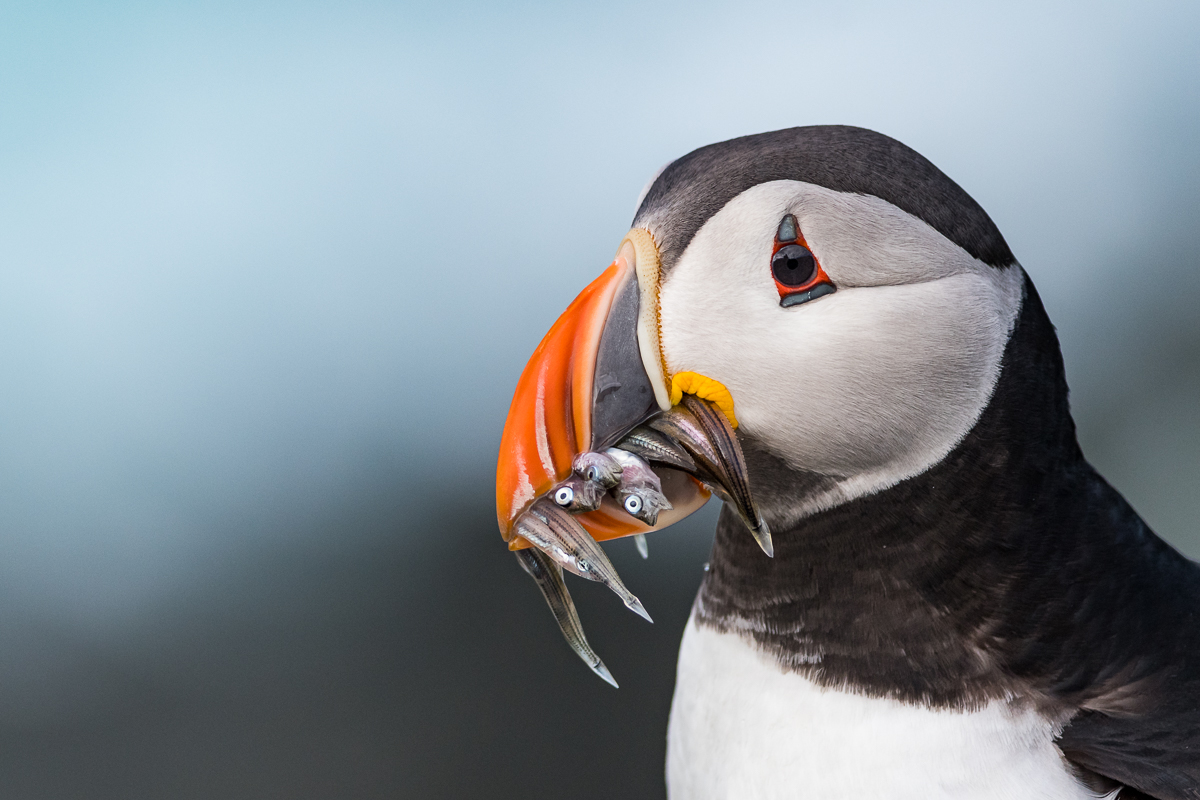 Portrait of an Atlantic Puffin with a rich catch.