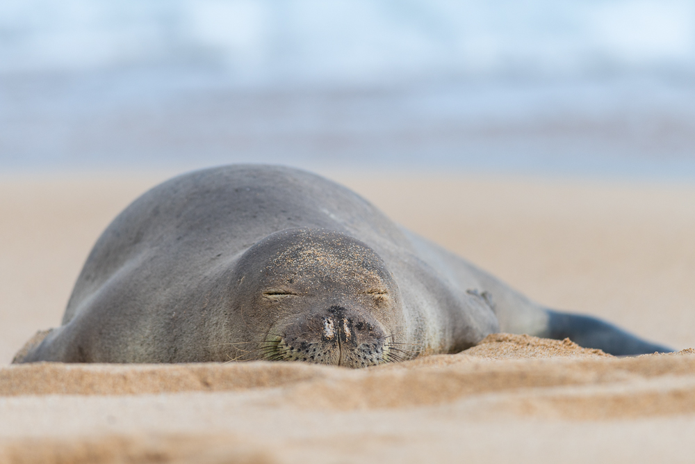 A monk seal resting on the beach.