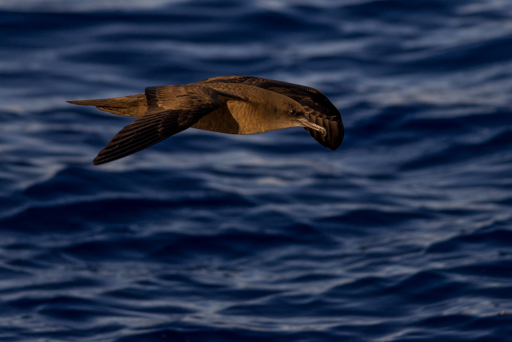 A wedge-tailed shearwater north of New Zealand