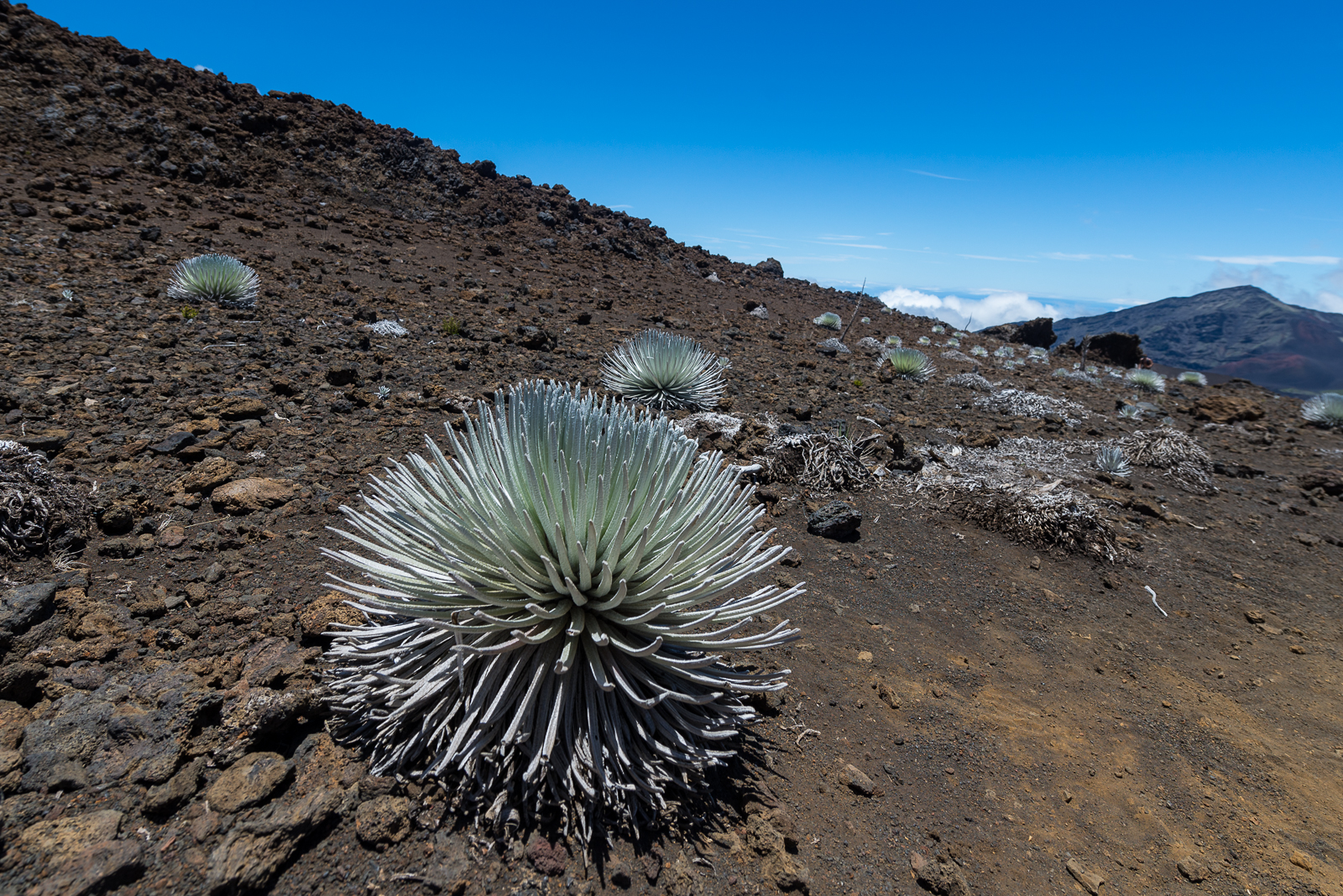 A silversword species endemic to the slopes of Haleakalā volcano.