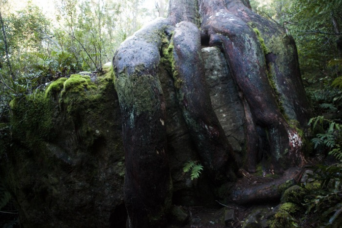 Octopus_tree.png