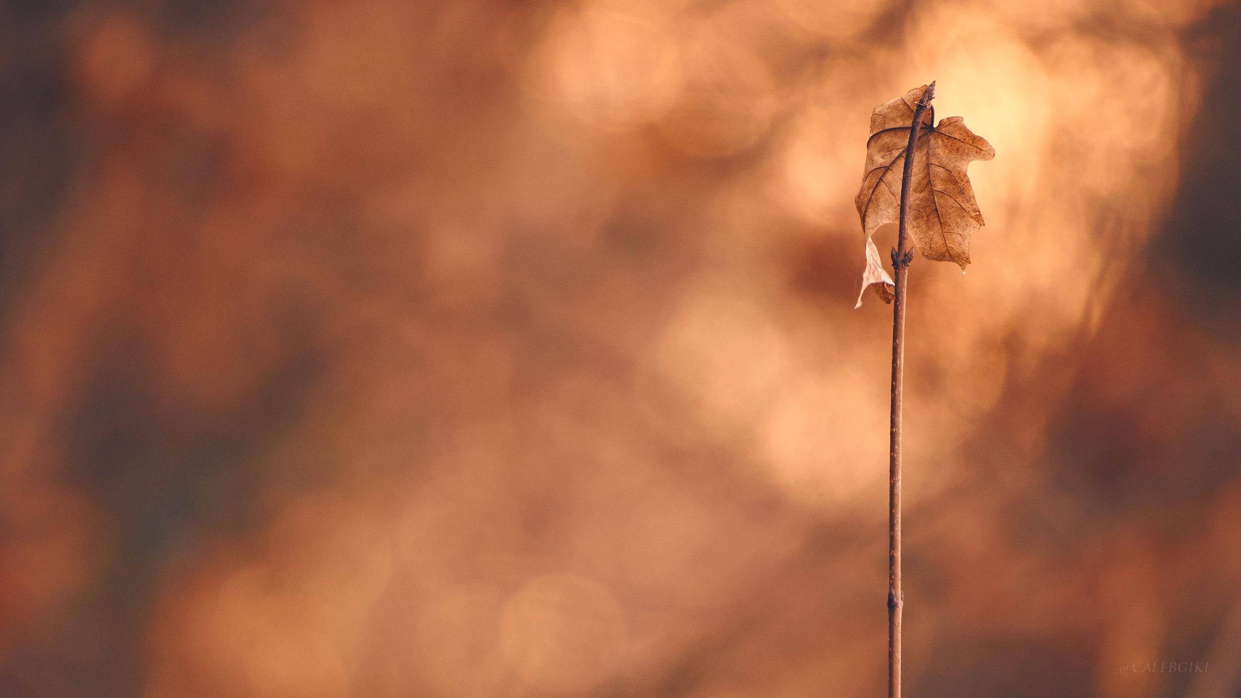 Dying Autumn Leaf