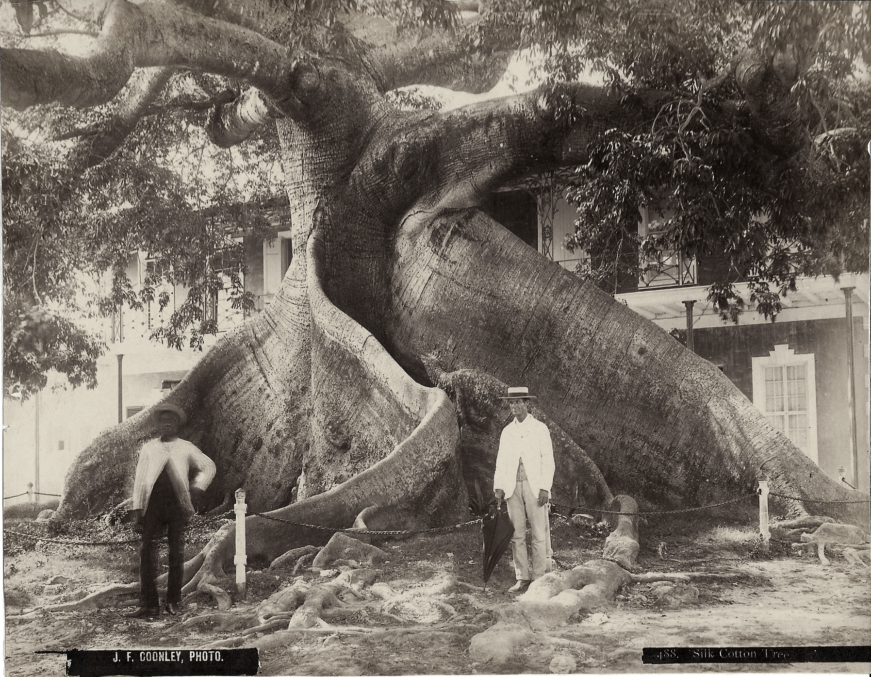 """""""A Ceiba or Silk Cotton Tree"""" (1877-78), Jacob F Coonley, albumen print, 7 x 8. Part of the National Collection, previously owned by R. Brent Malone."""