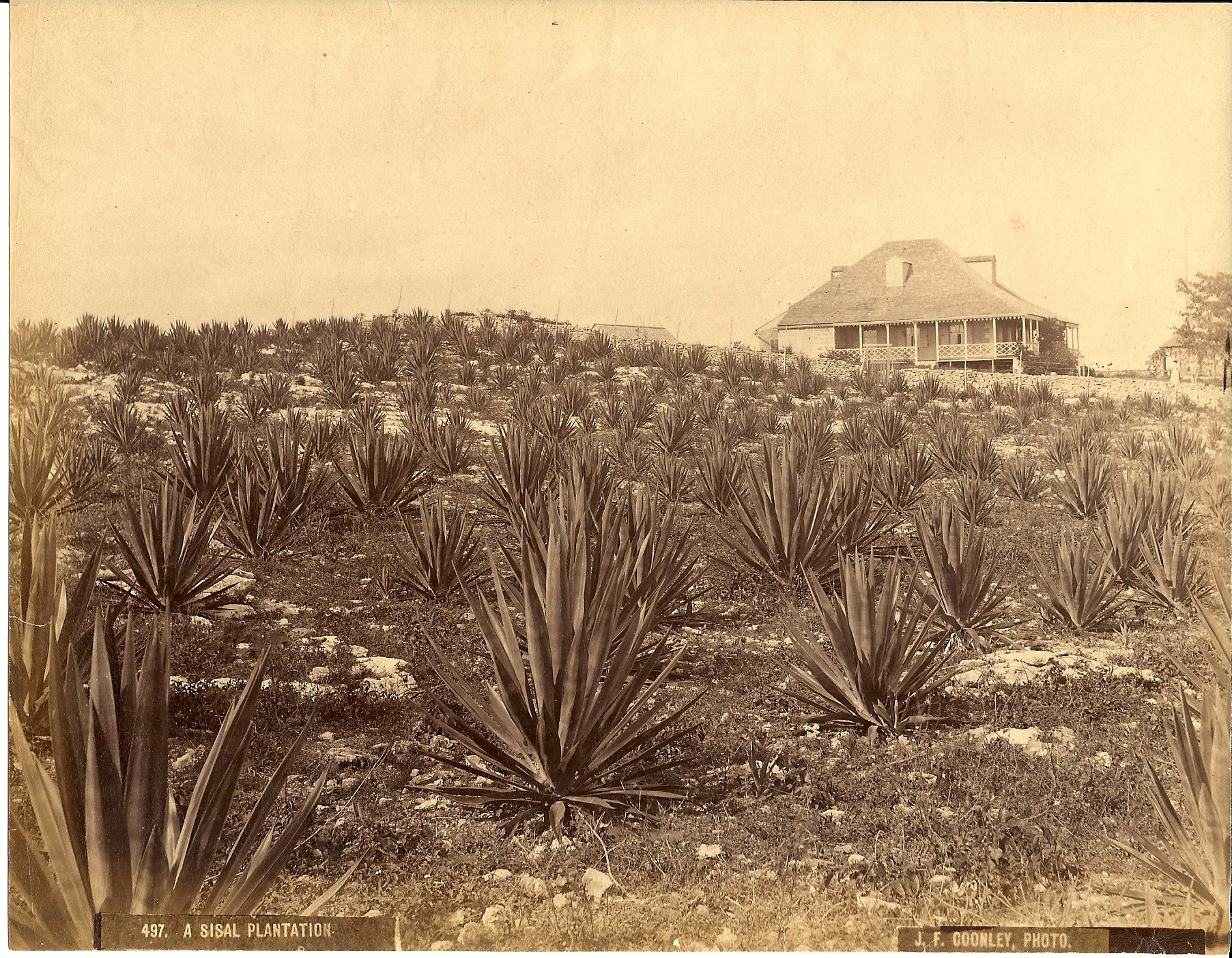"""""""A Sisal Plantation"""" (ca. 1857-1904), Jacob Frank Coonley, albumen print, 7 x 8. Part of the National Collection, originally owned by R. Brent Malone."""