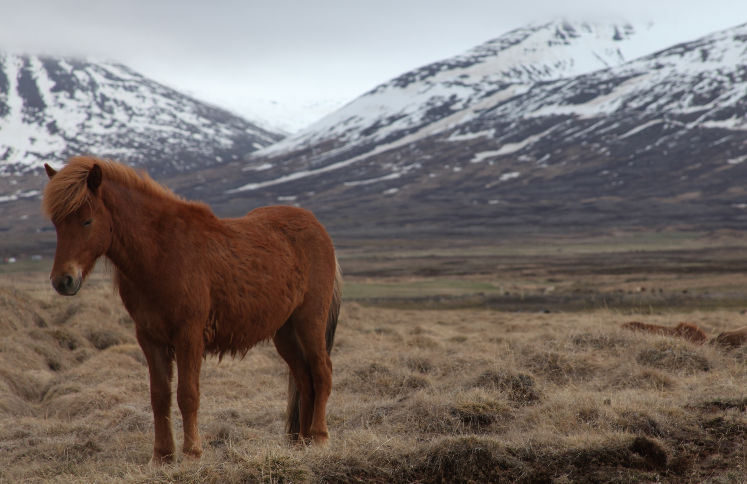 A young horse in northwestern Iceland (Photo by Andrew Evans)