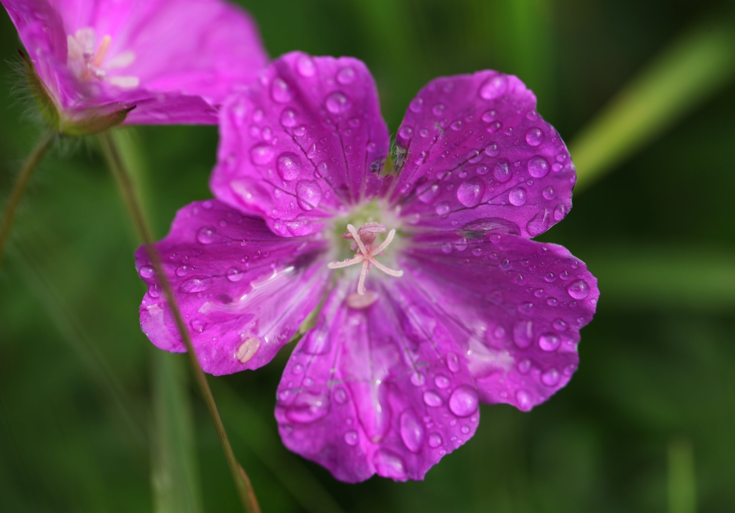 A pink primrose grows in a paddock on Inis Oírr (Photo by Andrew Evans)