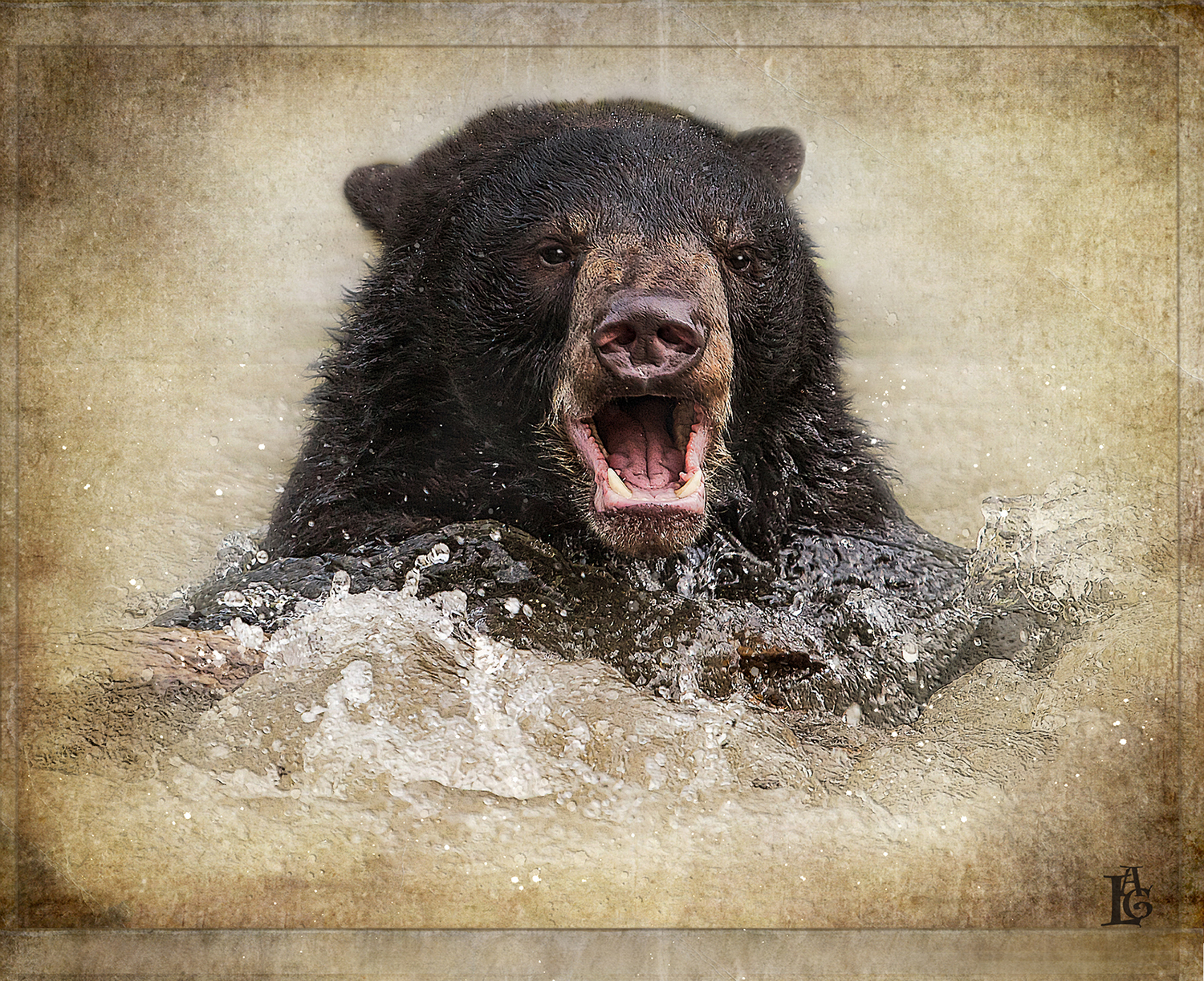 Black Bear Swim