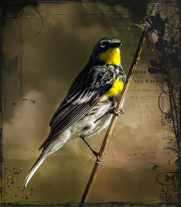 warbler copy1.jpg