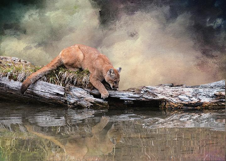 Cougar Reflection