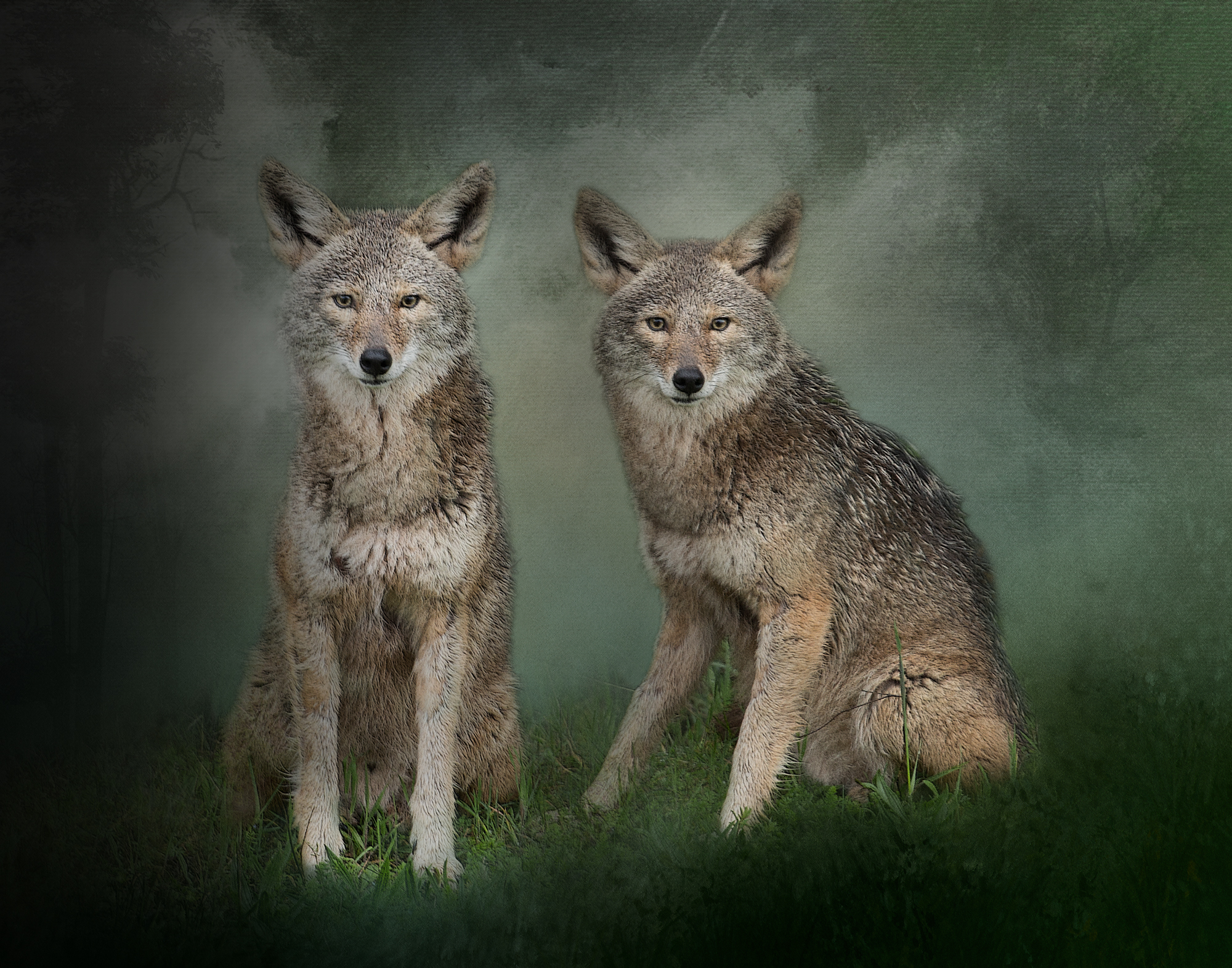 Watchful Coyotes