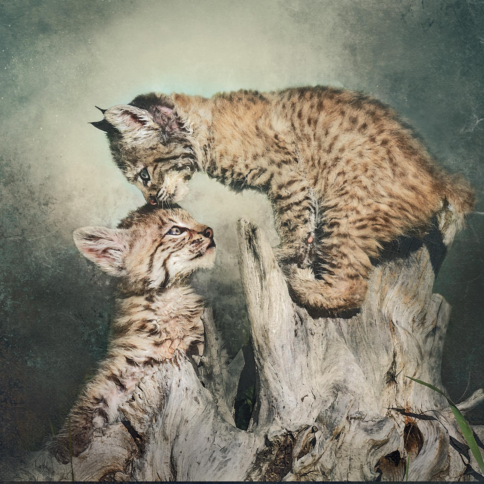 Bobcat Kittens Playing