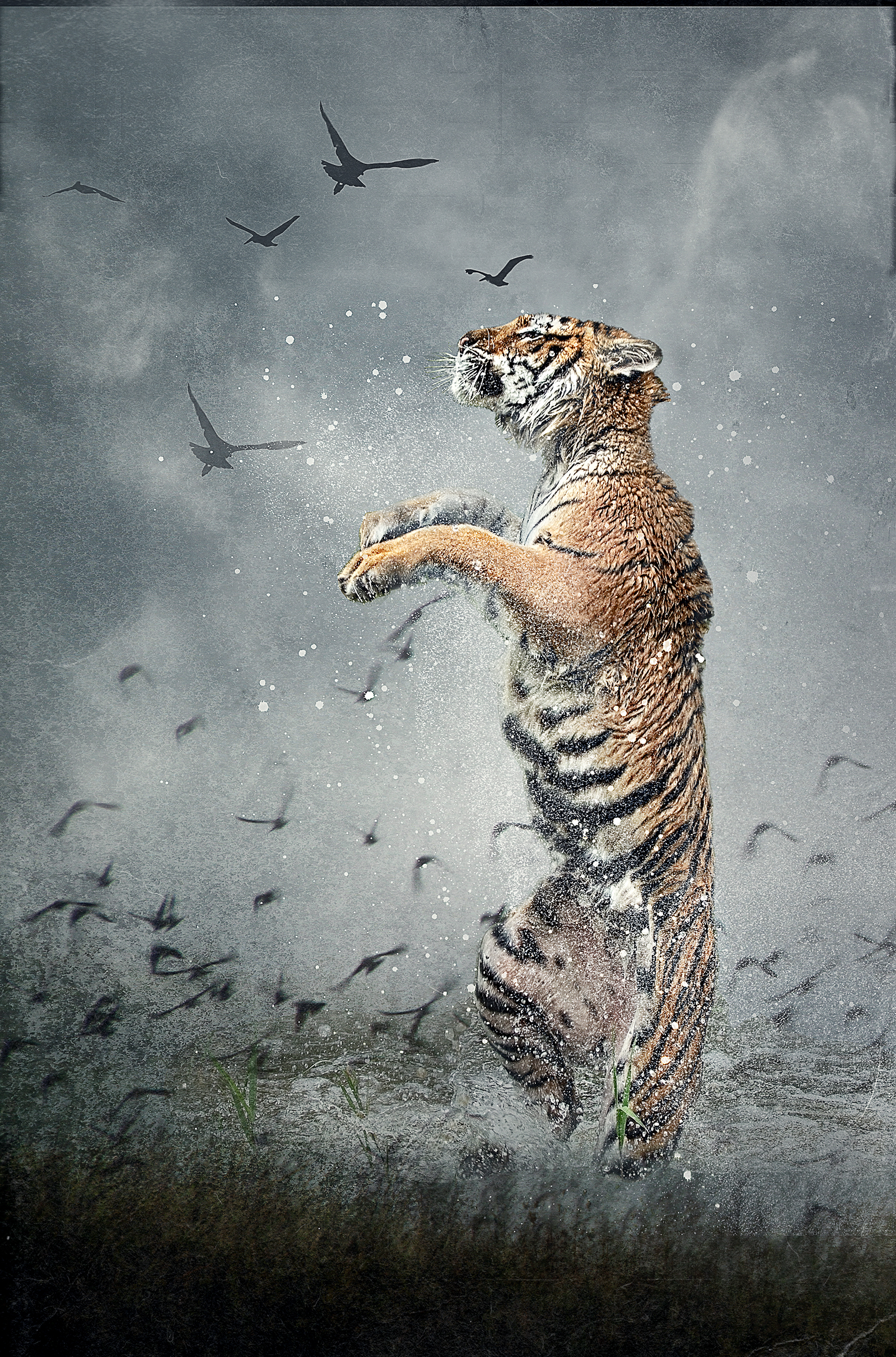 Siberian Tiger leap 3