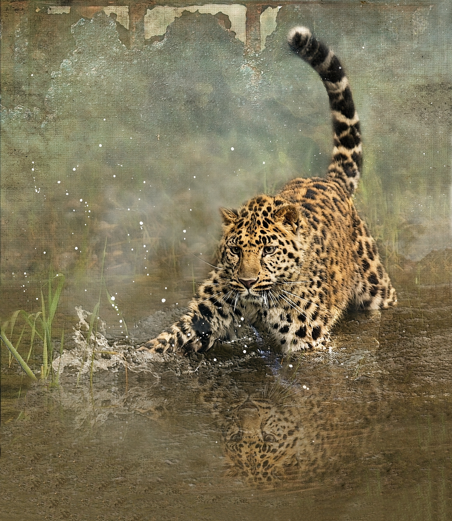 Amur Leopard Plunge