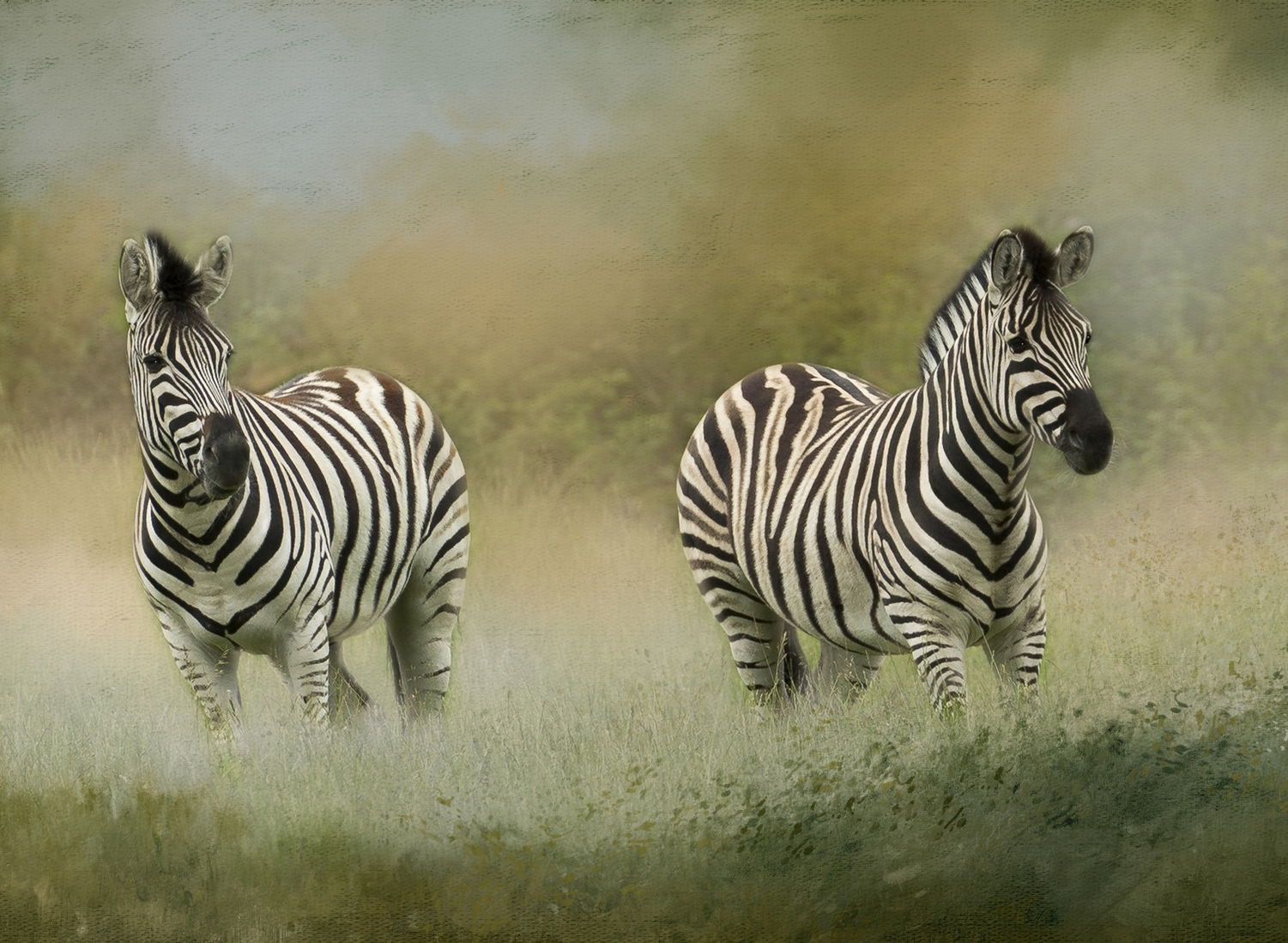 Zebras in Meadow