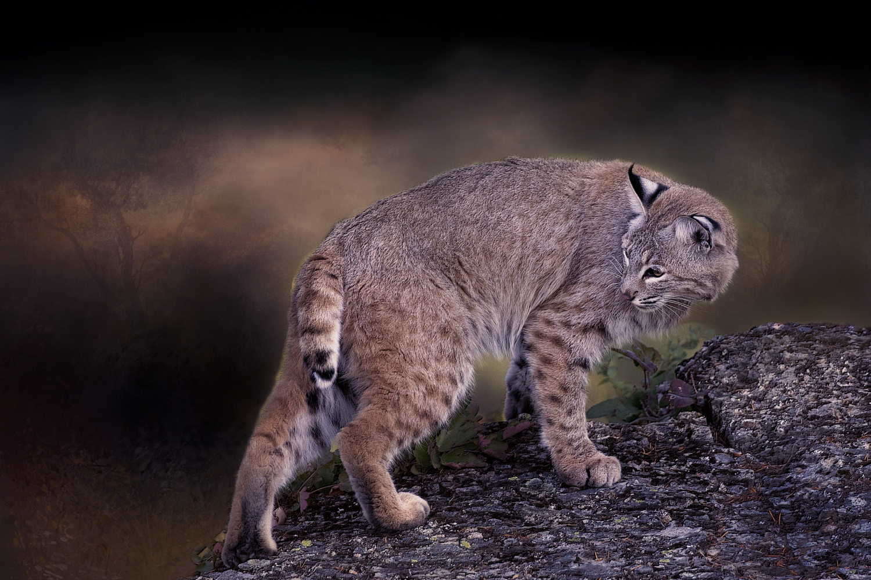 Bobcat on Rock
