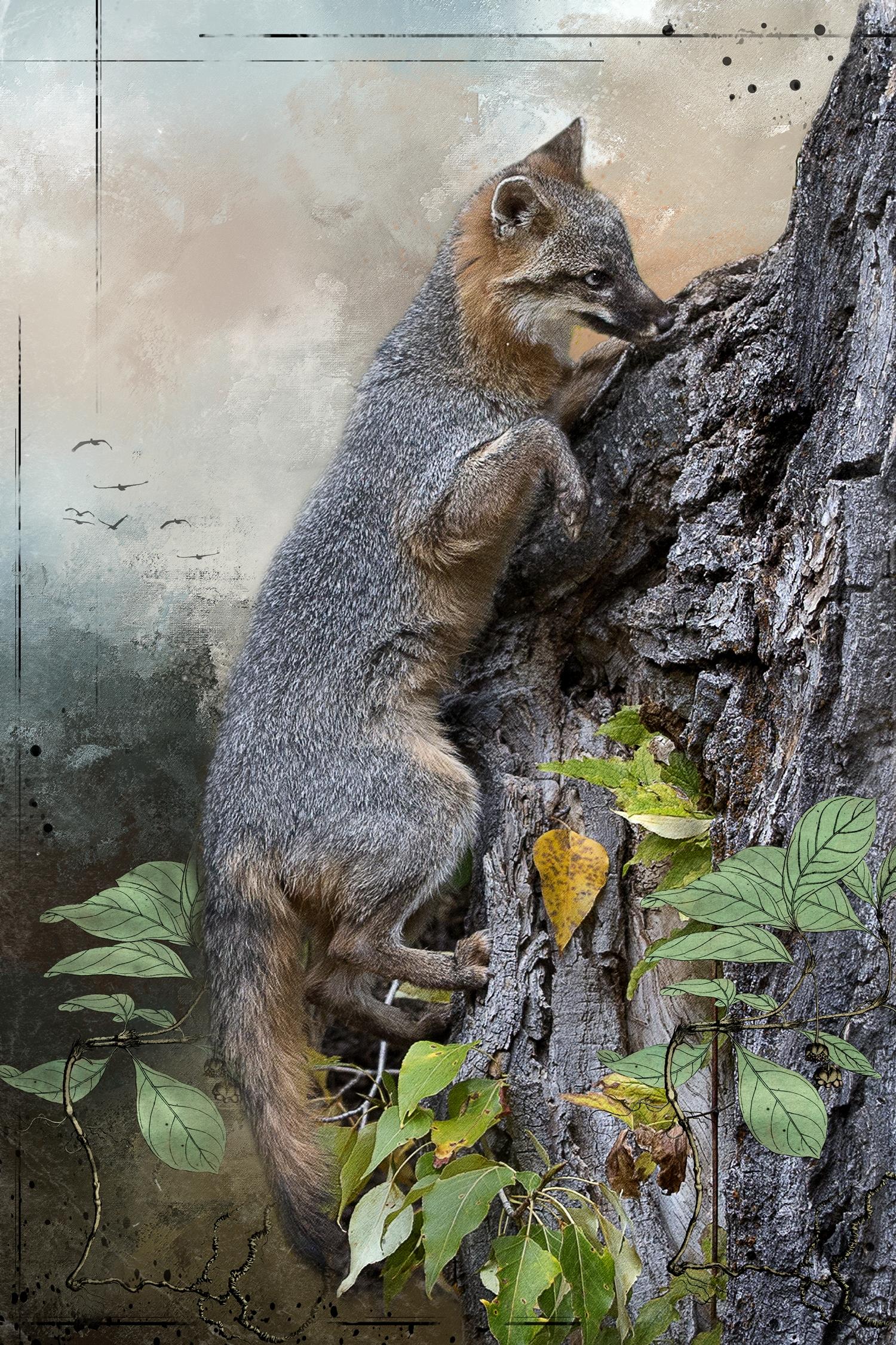 Grey Fox in Tree