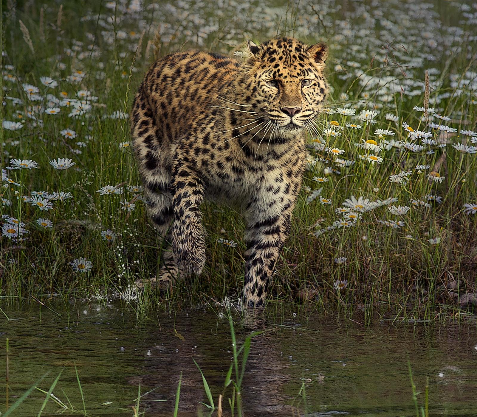Amur Leopard in Daisies