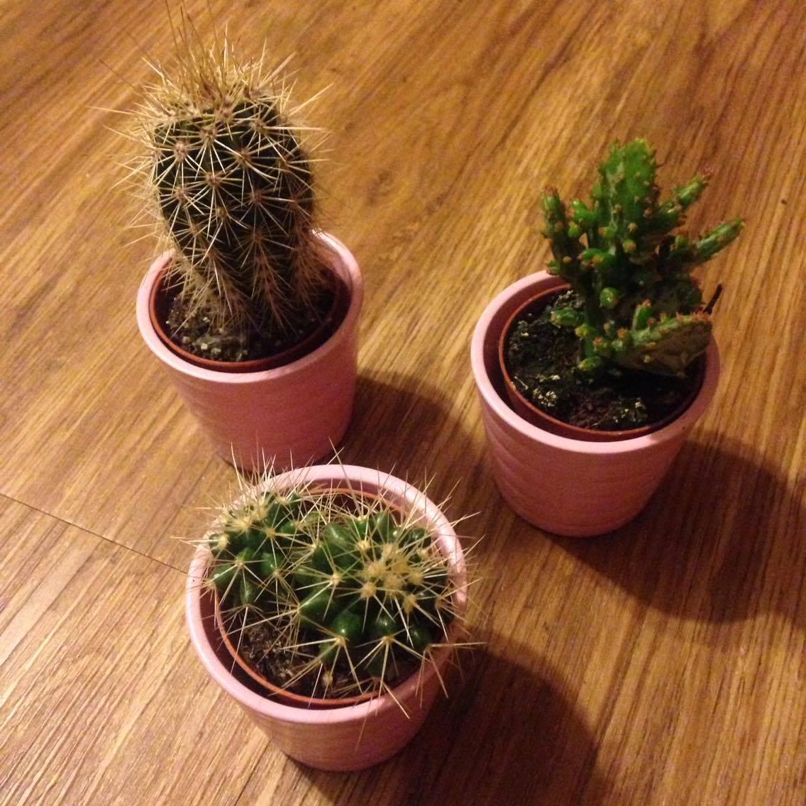 3 IKEA cactus in baby pink pots.