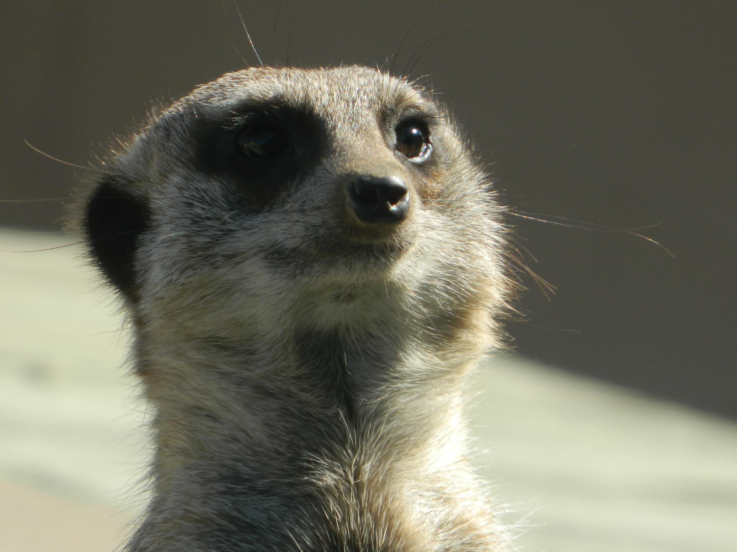 Cheeky little meerkat.
