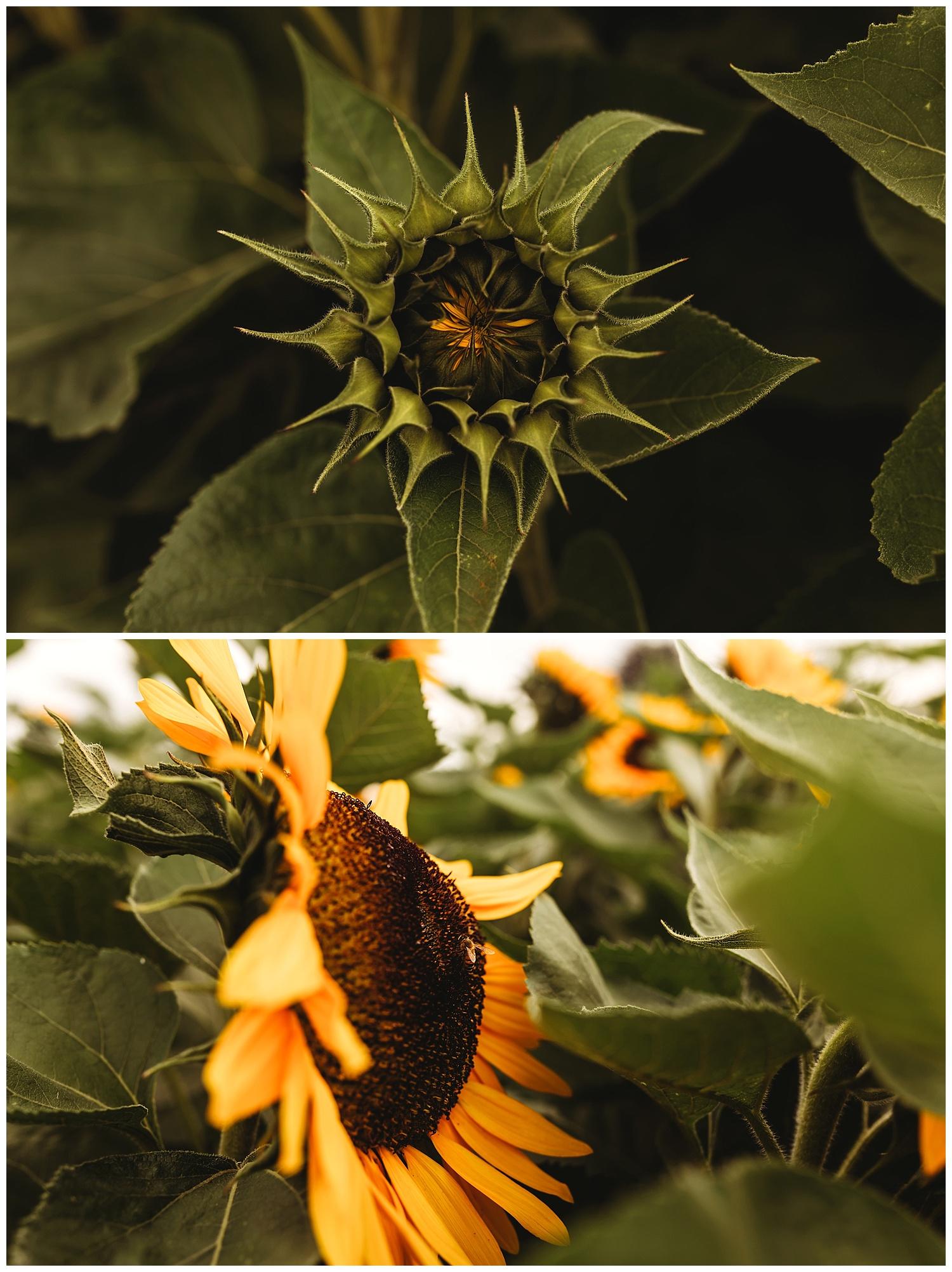 Chilliwack Sunflower_2.jpg