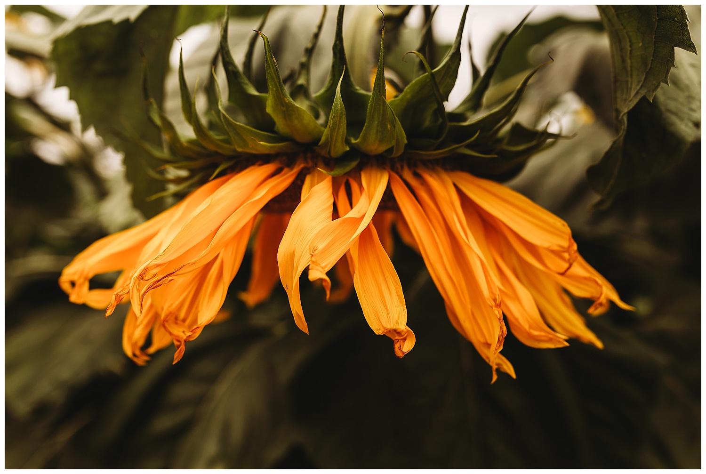 Chilliwack Sunflower_10.jpg