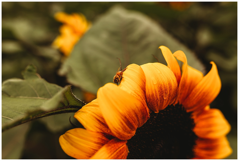 Chilliwack Sunflower_12.jpg