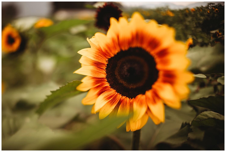 Chilliwack Sunflower_14.jpg