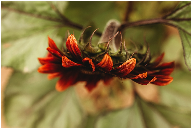 Chilliwack Sunflower_19.jpg