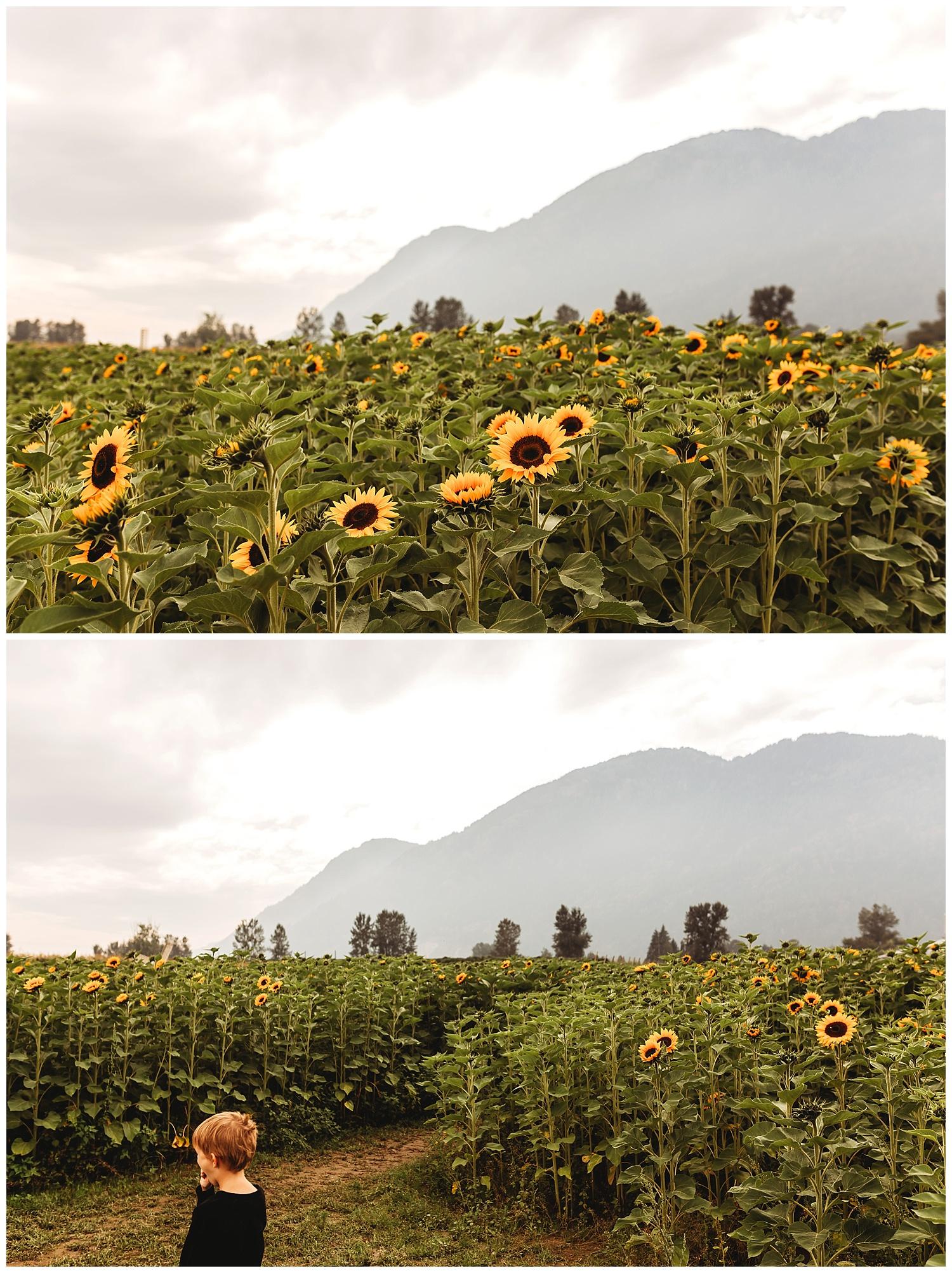 Chilliwack Sunflower_23.jpg