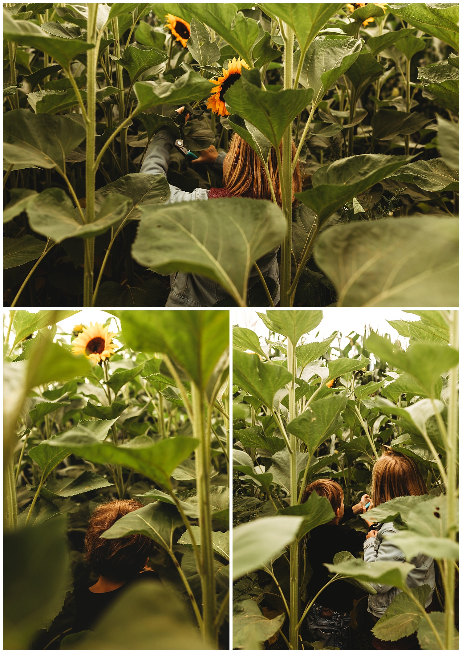 Chilliwack Sunflower_24.jpg