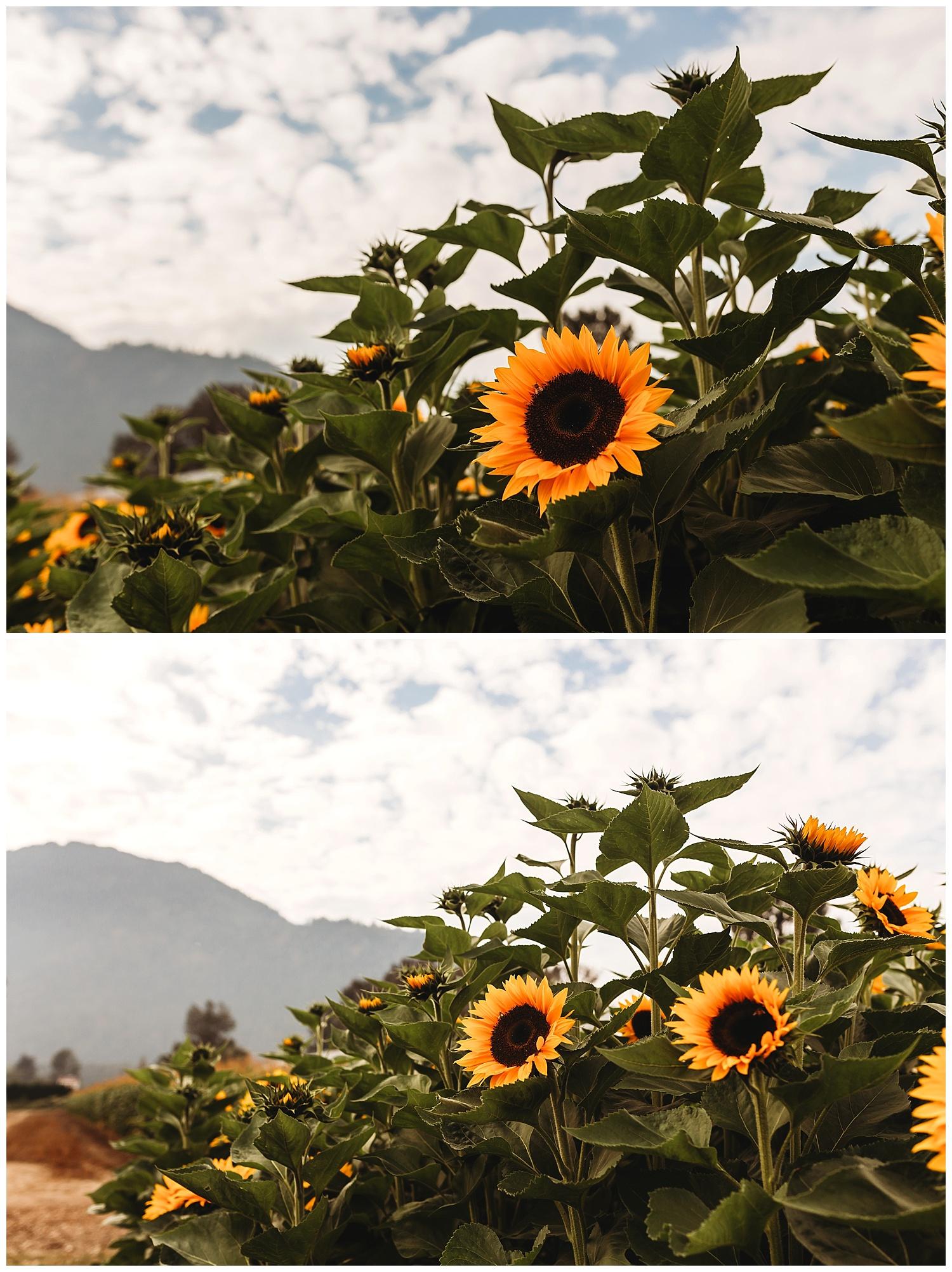 Chilliwack Sunflower_28.jpg