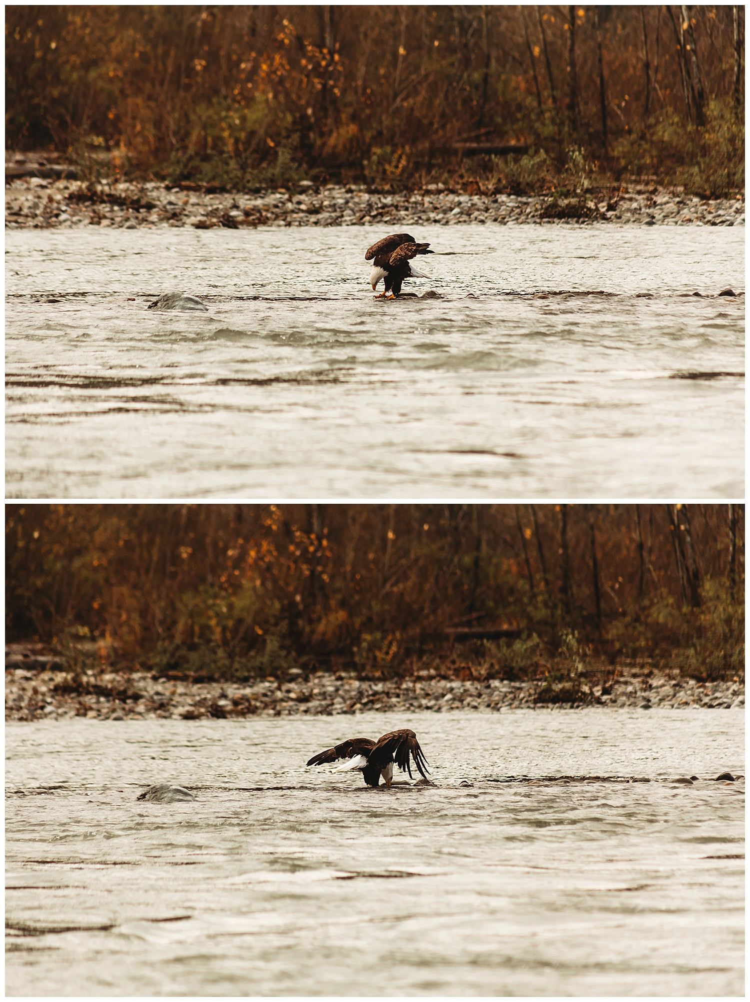 Eagles Vedder River Chilliwack 3.jpg