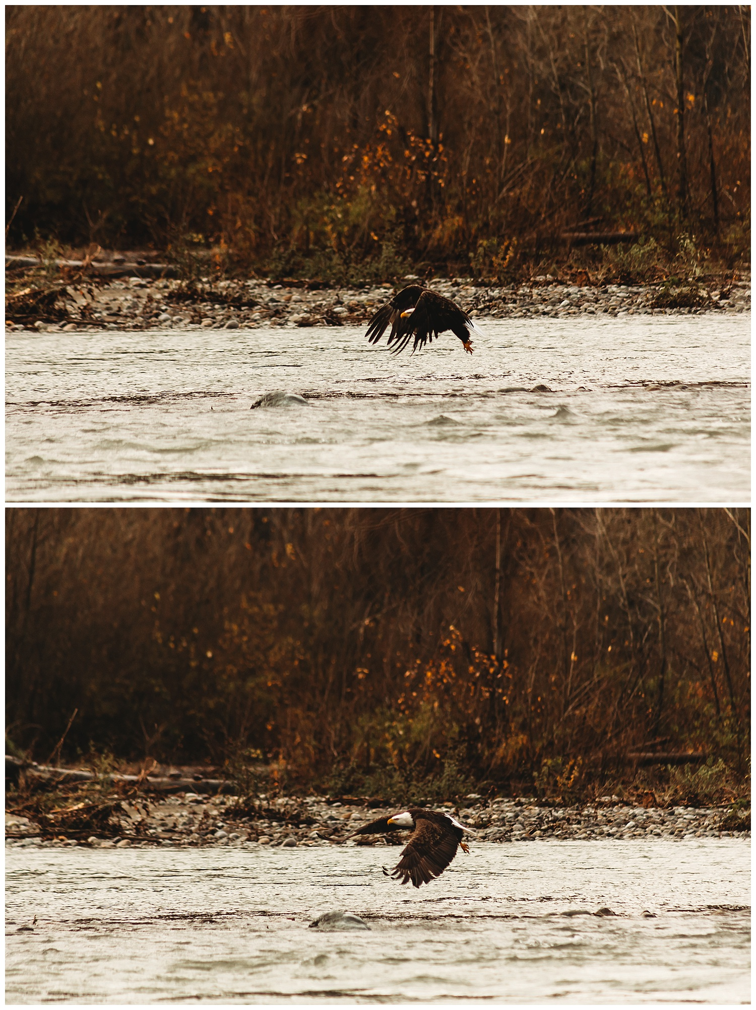 Eagles Vedder River Chilliwack 4.jpg