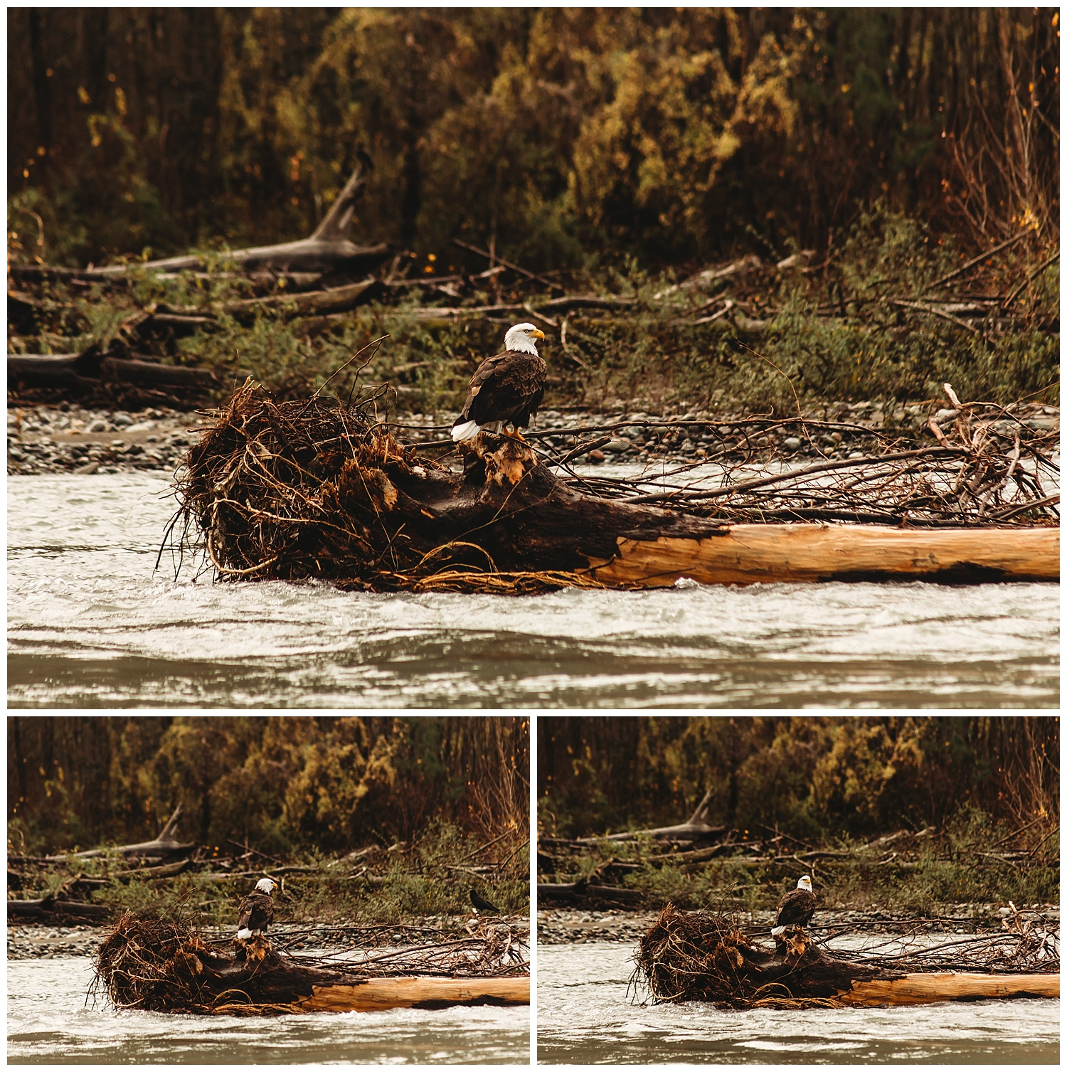 Eagles Vedder River Chilliwack 5.jpg
