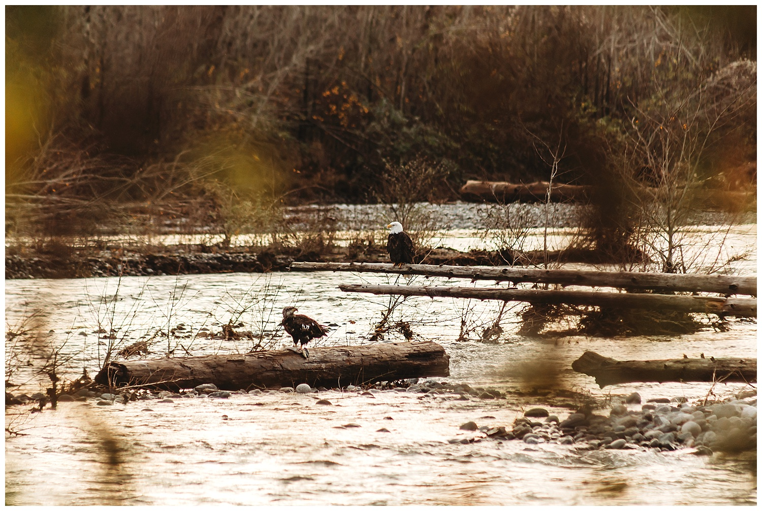 Eagles Vedder River Chilliwack 8.jpg