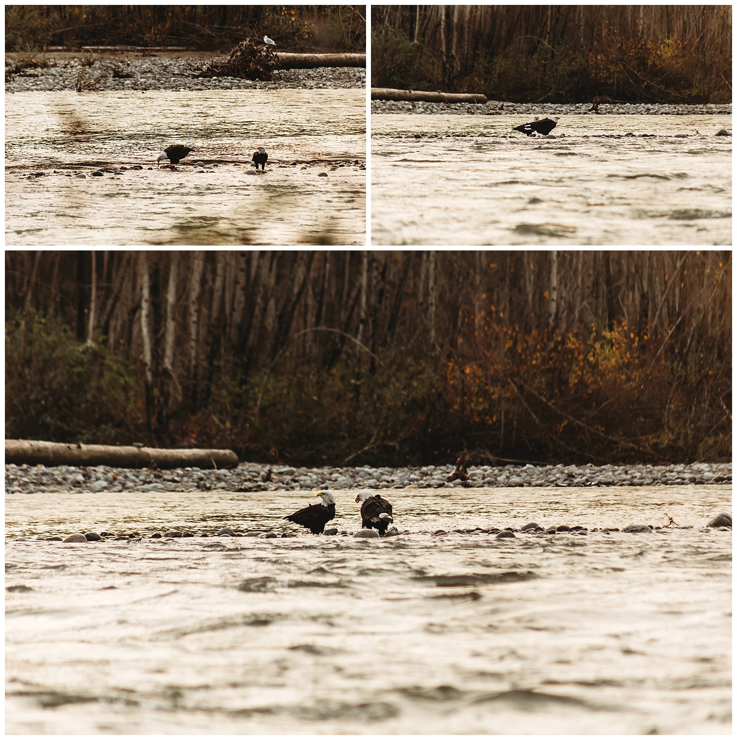 Eagles Vedder River Chilliwack 14.jpg