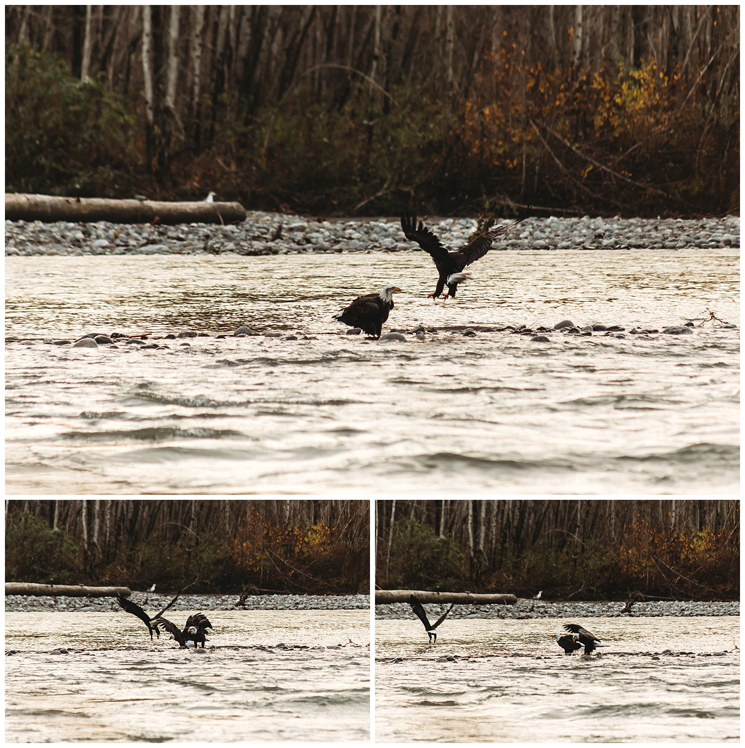 Eagles Vedder River Chilliwack 17.jpg