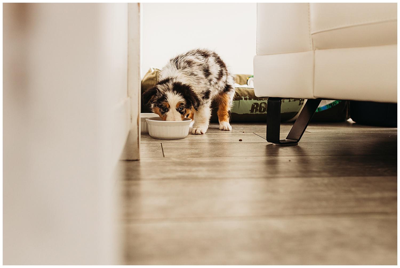 Australian Shepherd Puppy Anna Hurley Photography Chilliwack 3.jpg