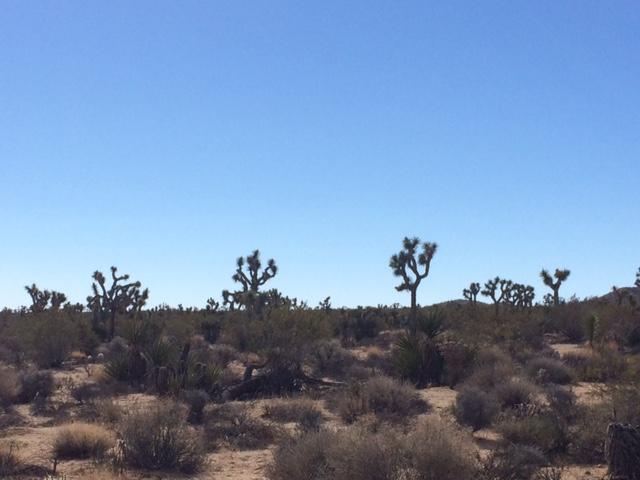 Joshua Tree: a yucca that grows as a tree and has clusters of spiky leaves