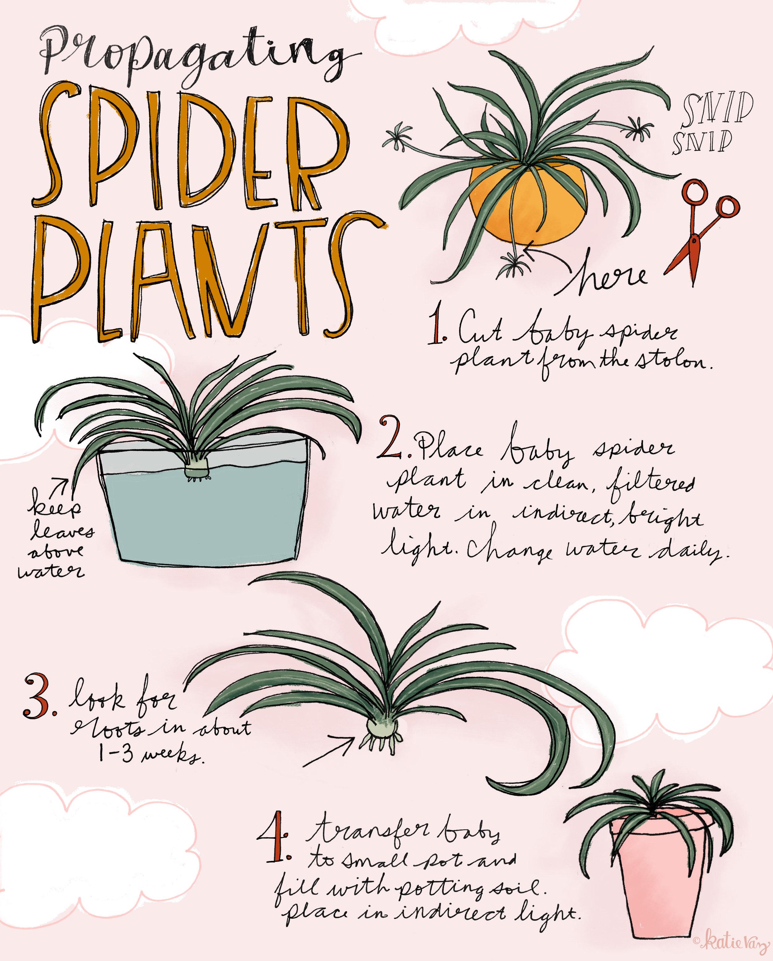 Propagating Spider Plants Katie Vaz