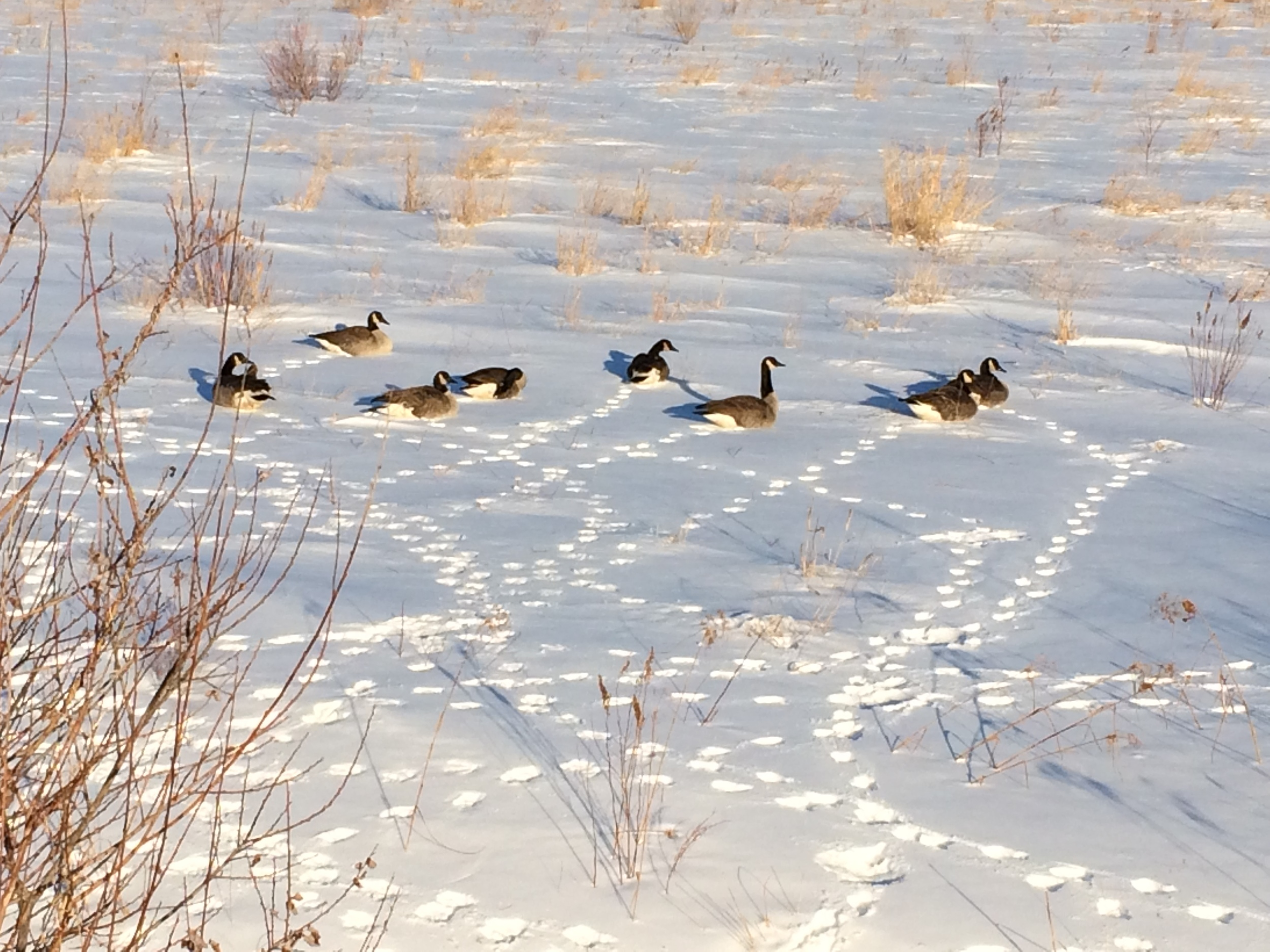 February 28, 2015 | Geese on Bogs in the Snow