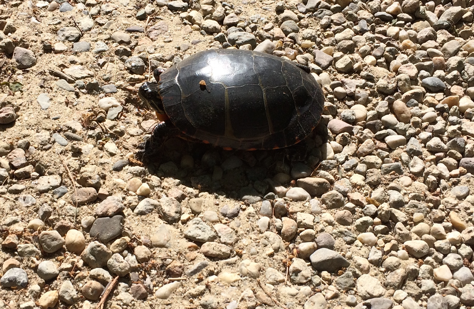 June 3, 2015 | Painted Turtle Crossing the Road