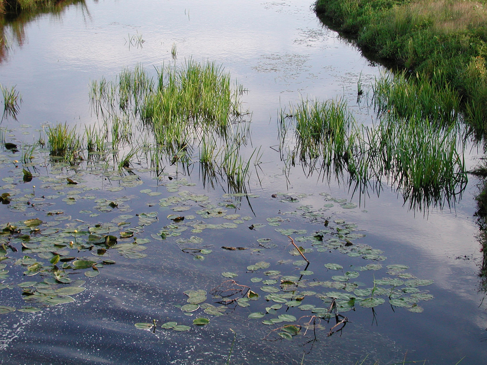 July, 2001 | Lily Pads in Stream-bed
