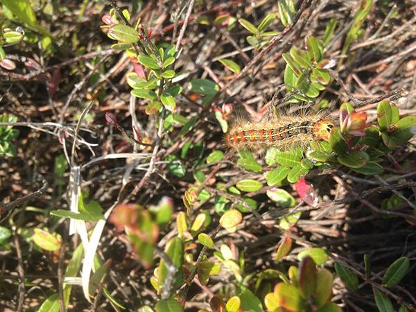 Caterpillars devour cranberry plants on Tidmarsh West |cr: Julia Criscione