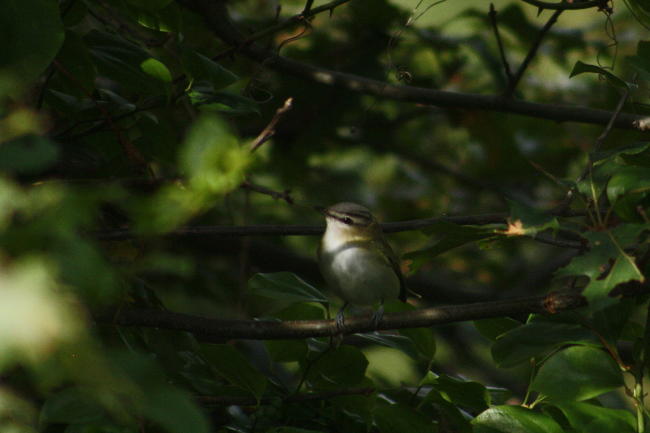 2017_09_02_red-eyed vireo_img_0472_cr_cjackson.jpg