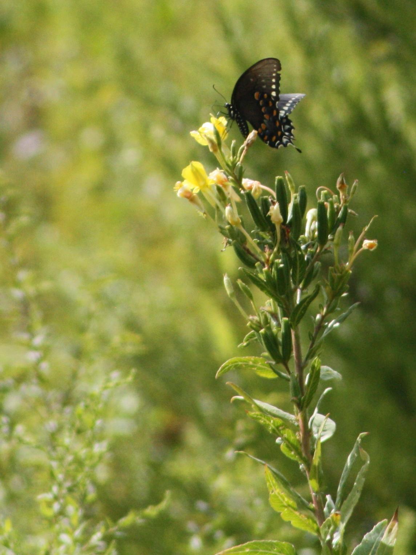 2017_09_02_spicebush swallowtail butterfly_img_0446_cr_cjackson.jpg