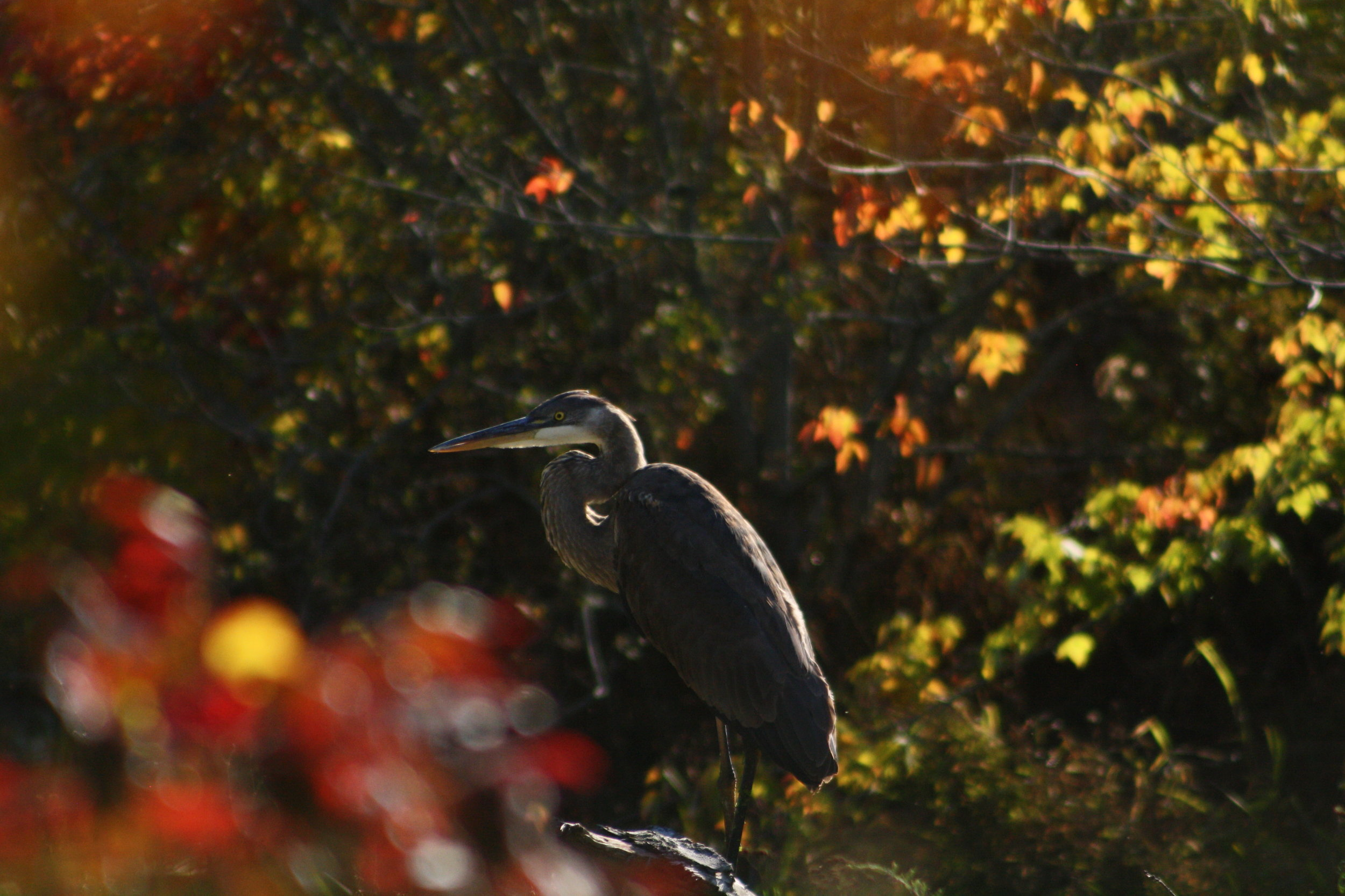 Great blue heron | Photo by: Cyndi Jackson