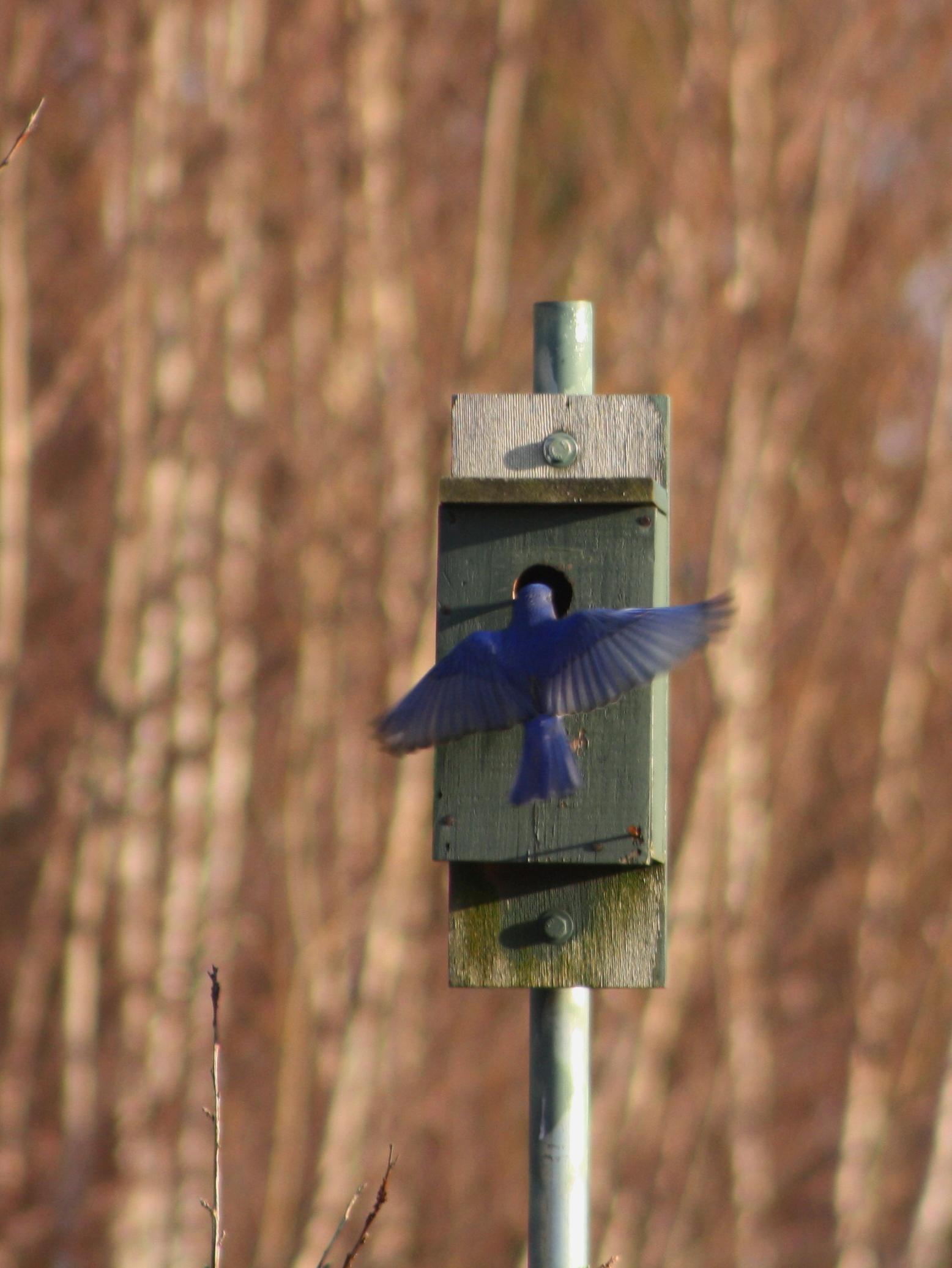 Bluebird at the nest box