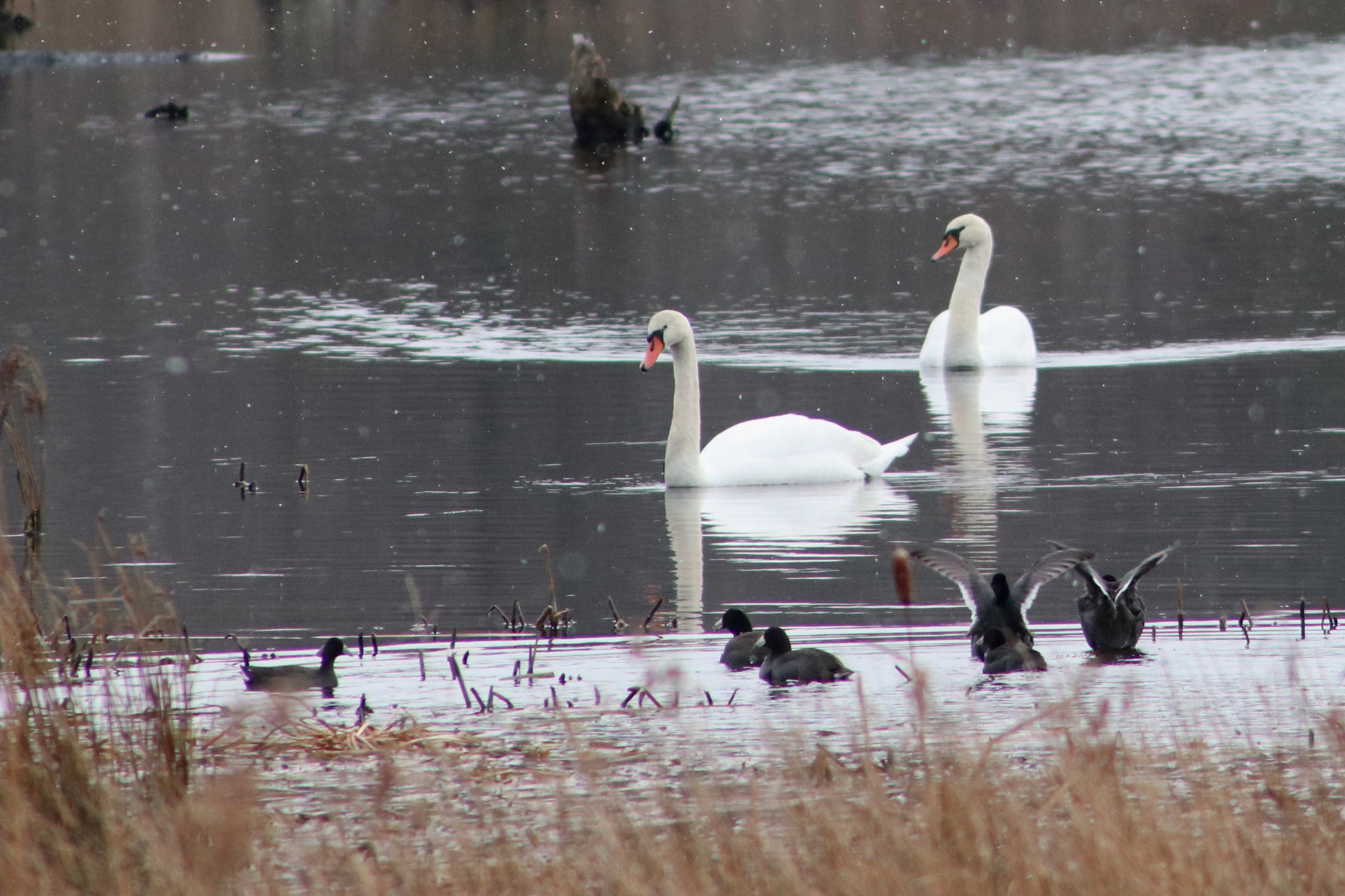 Mute swans and american coot